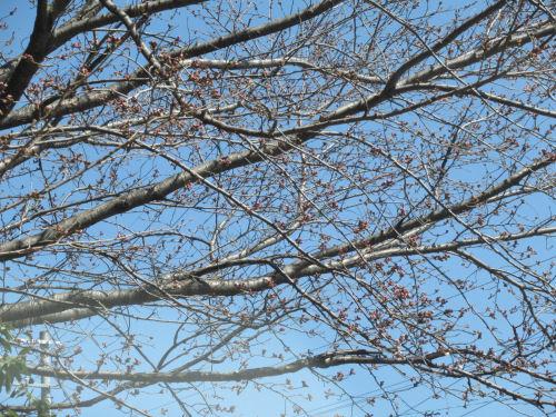 桜・つぼみ