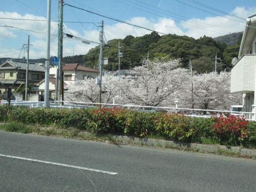 信号待ちで桜